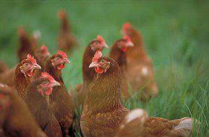poules-jpg